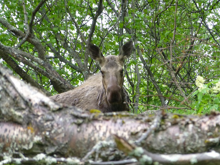 Moose at Kincaid Park photo