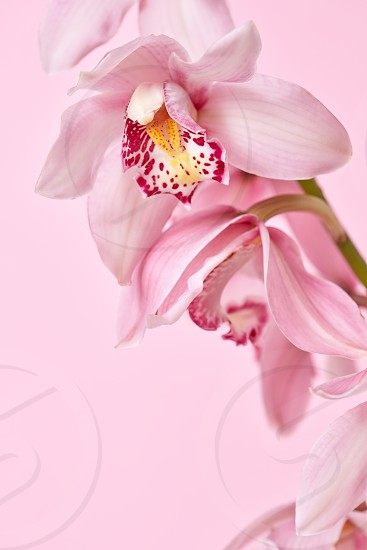 Pink orchid flowers with a pattern presented on a pink background with copy space. Postcards for Mother's Day photo