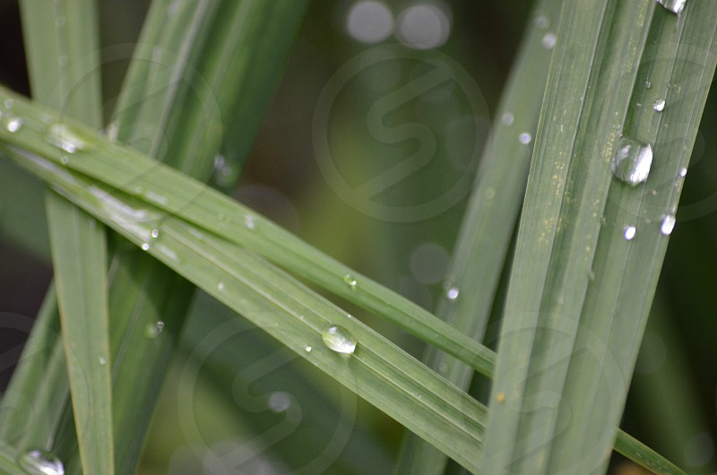 Green blades of grass water droplets natures photo
