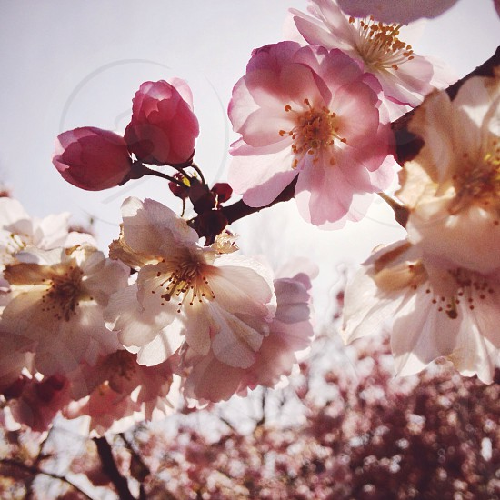 cherry blossoms NJ VSCO photo
