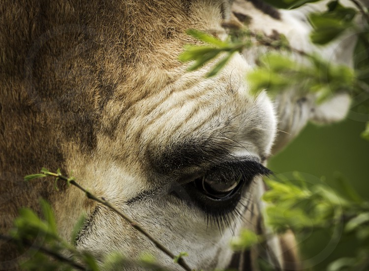 Giraffe eye tall neck tree animal wild wilderness africa safari eyelash lashes leaves zoo pattern yellow photo