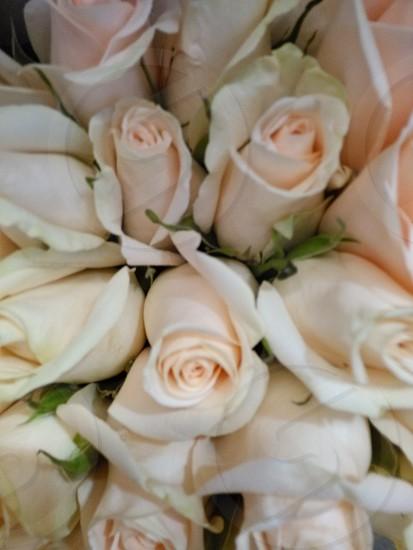 pure white roses photo