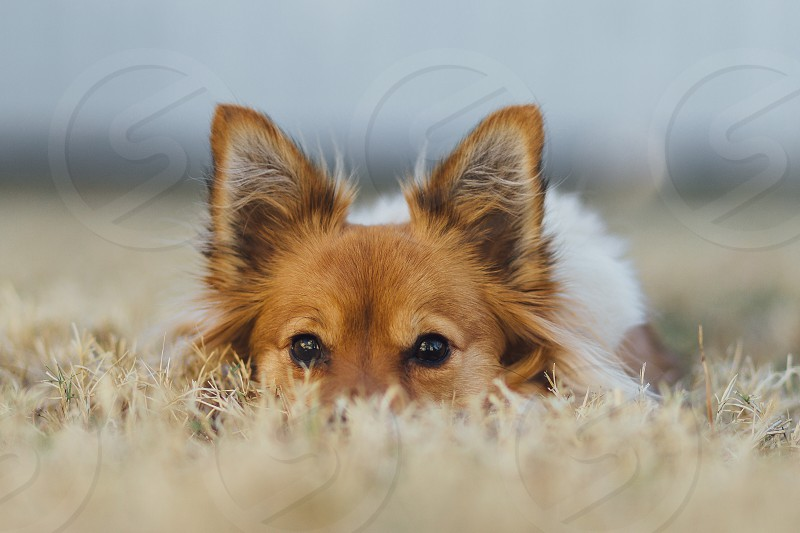 brown and white short coated puppy on a brown grass field photo