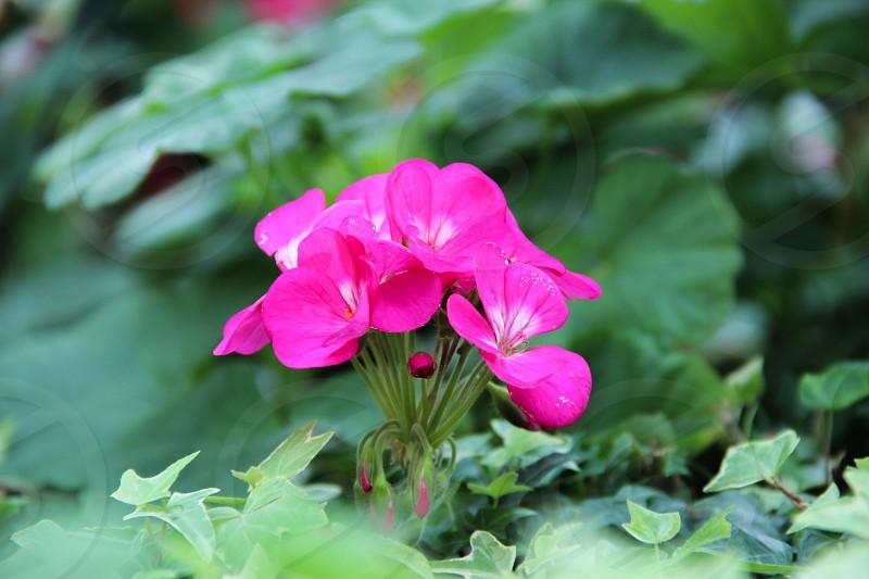 Flower.Singapore.Pink photo