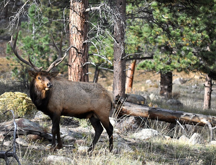 wild moose photography photo