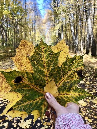 Autumn leaves yellow trees fall fall season hand fingers woman nail way road park nature walk  photo