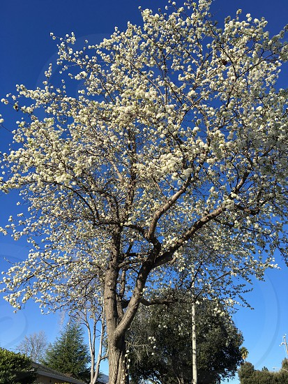 white Cherry blossoms under blue sky photo