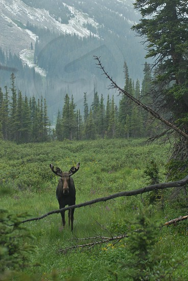 brown moose on grass photo