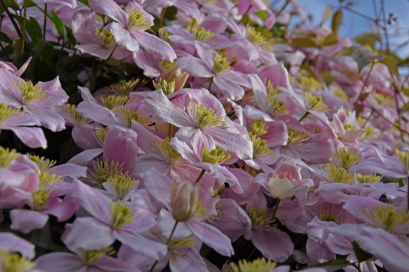 clematis pink flosers photo
