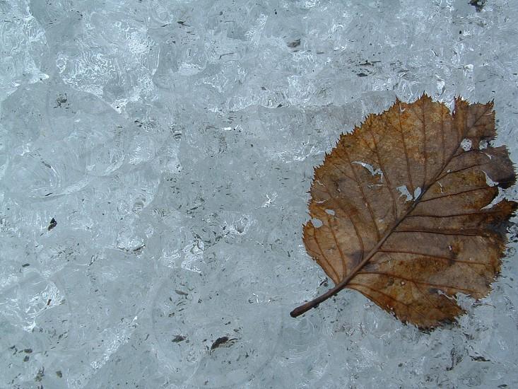 Fall leaf glacier ice Alaska  photo
