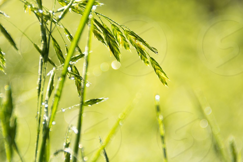 Spring green morning dew grass dawn fresh growth growing bright future delicate  photo