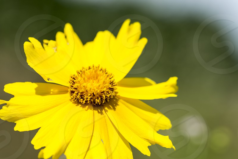 Coreopsis lanceolata photo