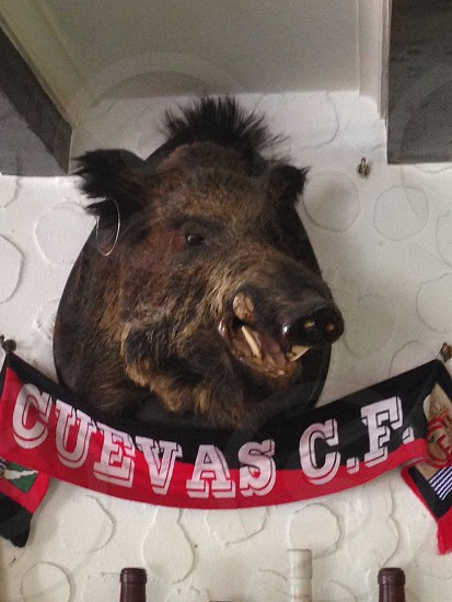 Boar's head on the wall in a tapas bar in Spain mainland photo