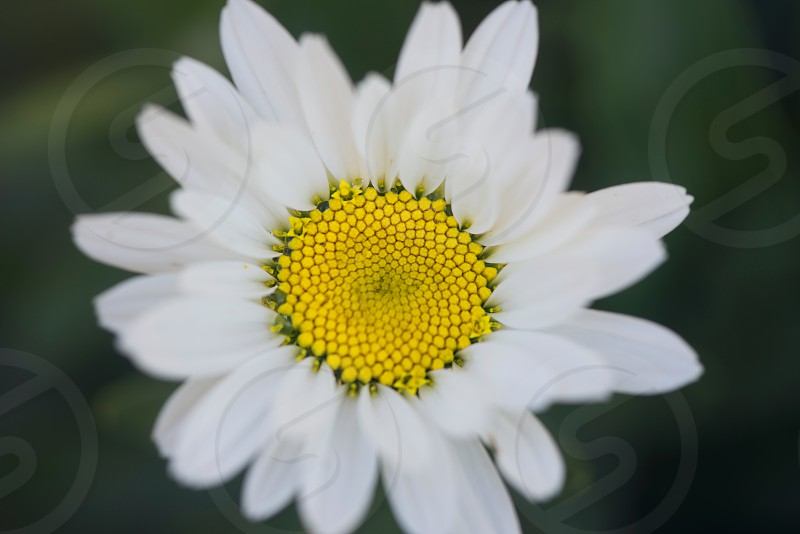 Flower  nature white yellow green photo