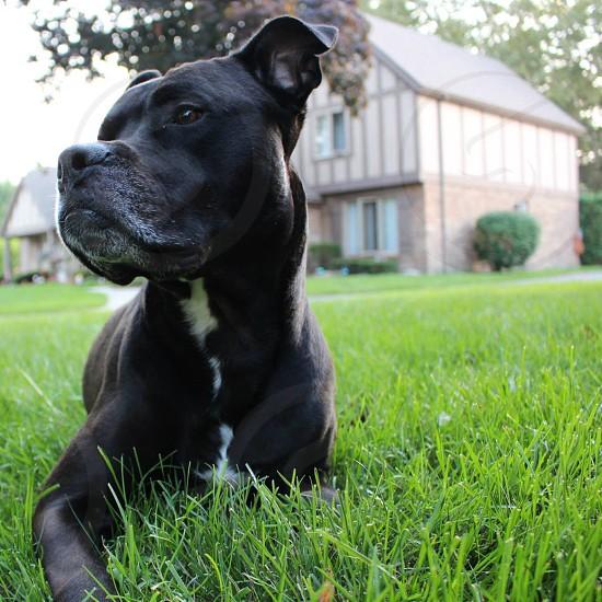 black and white pitbull sitting on the grass photo