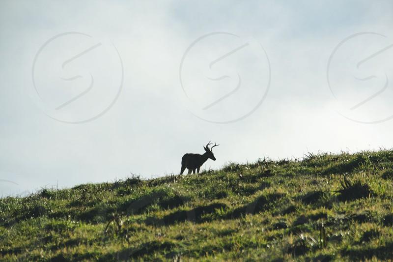 black deer on green mountain photo