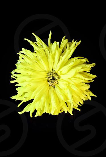 Yellow flowers  photo