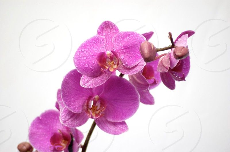pink moth orchid in close-up photography photo