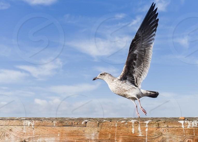 seagull bird bird poop pier dock sea fly takeoff  photo