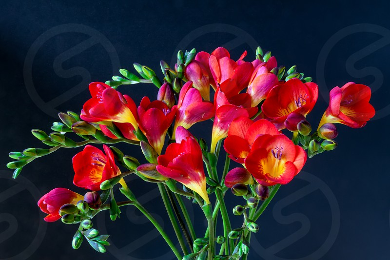 Close-up of red and yellow freesias (Iridaceae) photo