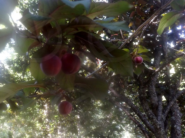 Ornamental plum tree with fruit photo