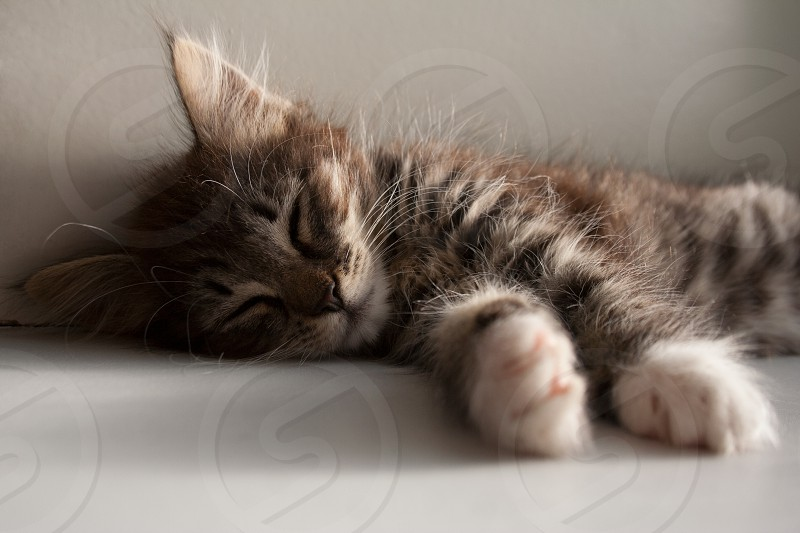 Adorable tabby kitten with brown grey fur sleeping on a summer day photo