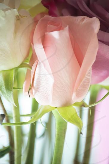 closeup photography of pink rose photo