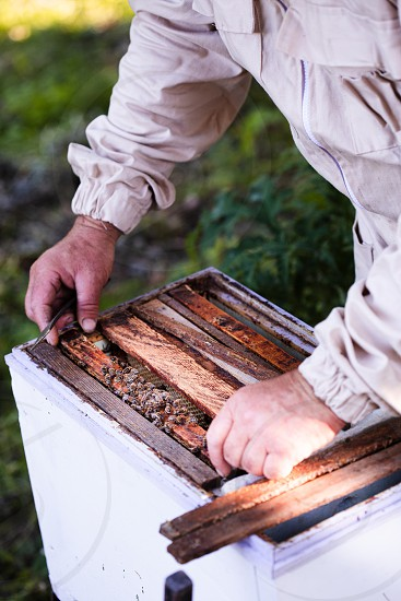 Beekeeper working in apiary drawing out the honeycomb with bees and honey on it from a hive photo