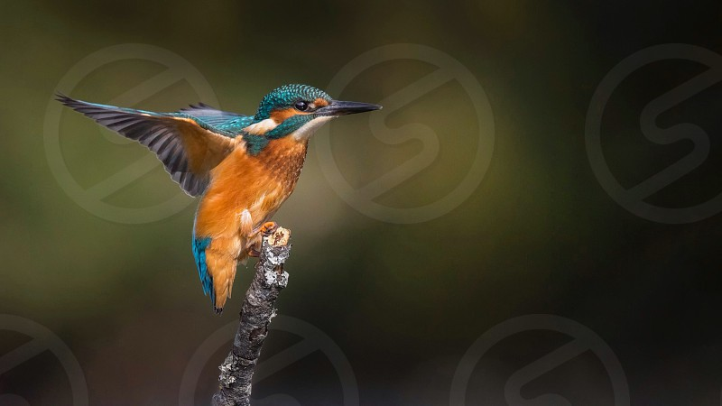 kingfisher nature wildlife perch bird colours colour color colors wings landing flight fishing river lake water photo