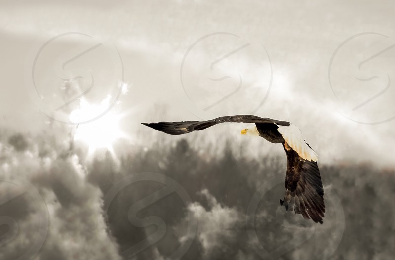Soaring Eaglefreedomfreetimeless photo