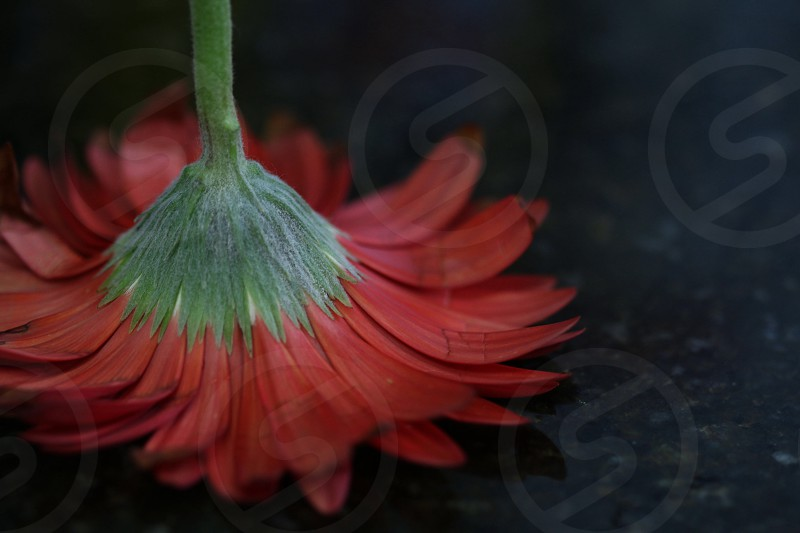 red dairy flower on black panel upside down photo