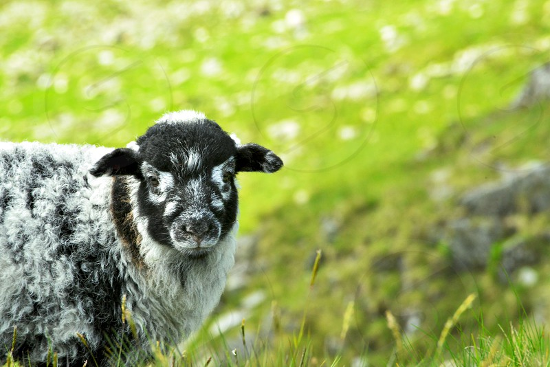 white and black sheep on green grass field during daytime in selective focus photography photo