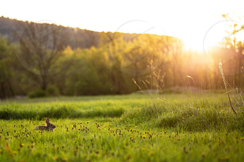 Sunset on a rabbit surrounded by flowers  on a spring day in Vermont  photo