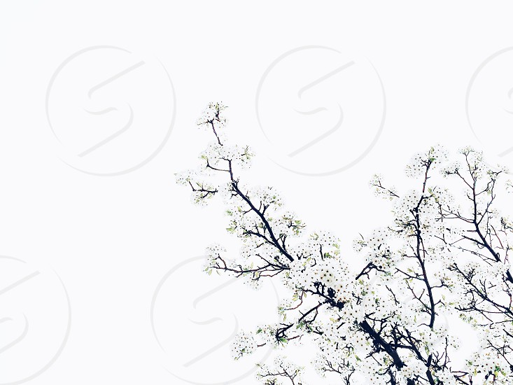 white flowers on a tree photo