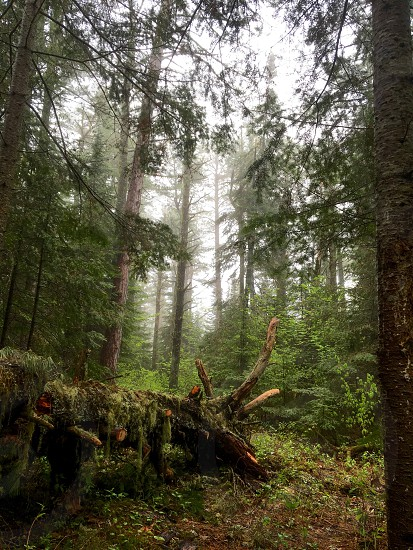Deep in the Northwoods with a large down tree and hanging moss. Misty fog photo