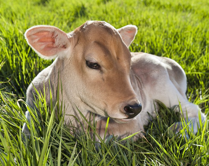 brown calf lying on green grass field during daytime photo