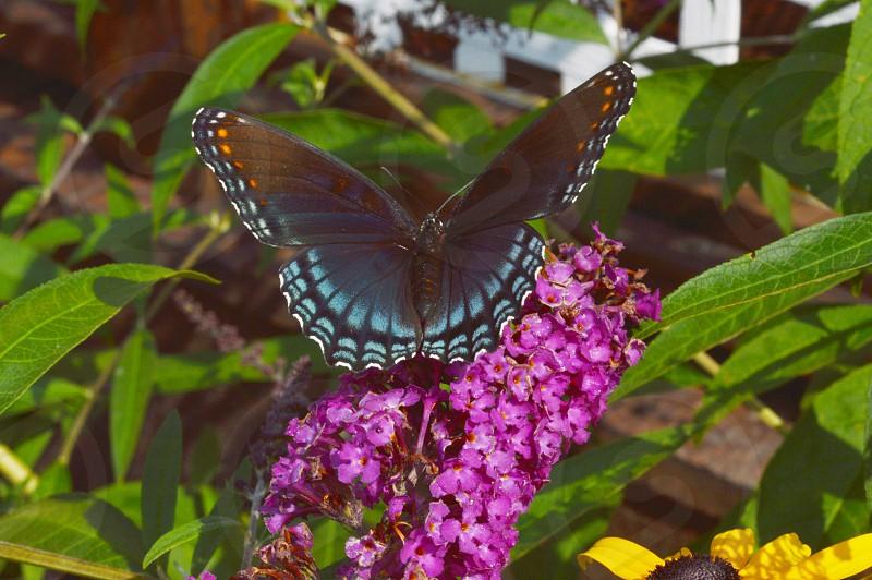 butterfly on butterfly bush photo