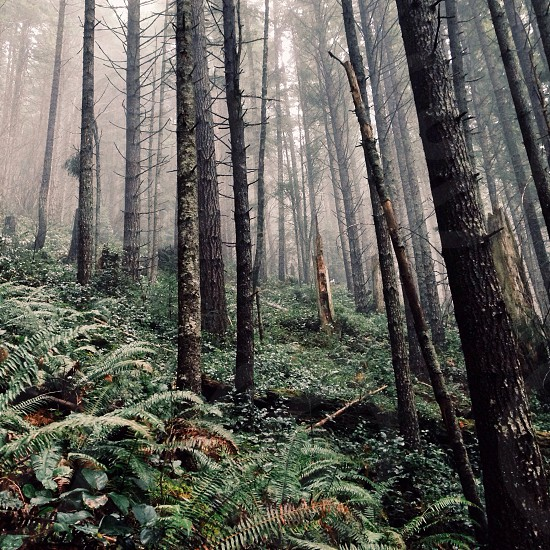black spiky tall trees green grass and covered by fogs photo