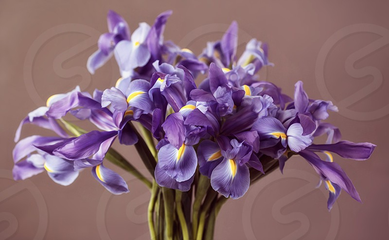 Iris flower flowers bouquet purple photo