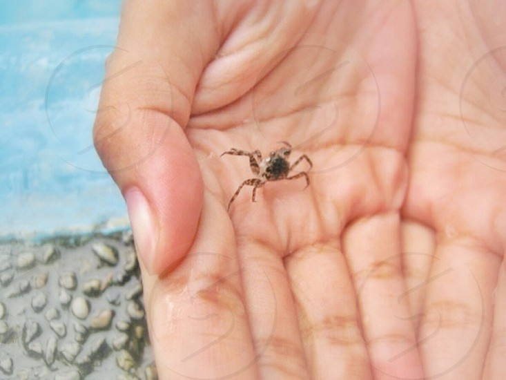 A little crab was lost in the swimming pool. I scooped it out of the water; used my hands to take it some place safer. photo