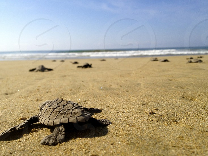 Releasing baby turtles into the wild — Juluchuca Mexico photo