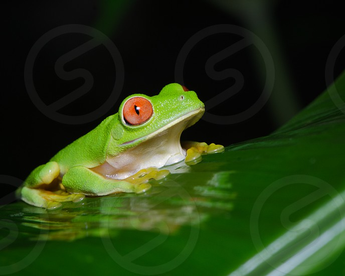 Red-eyed tree frog in the rainforest jungle of Belize photo