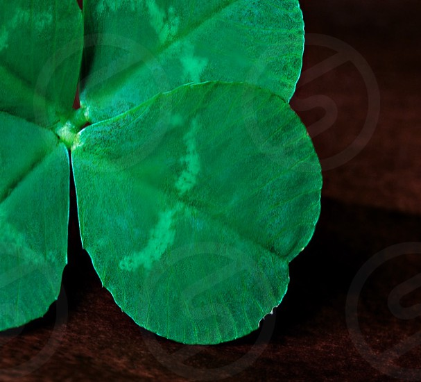 clover cute green four-leaf clover indoors faux green clover saint patrick's day photo