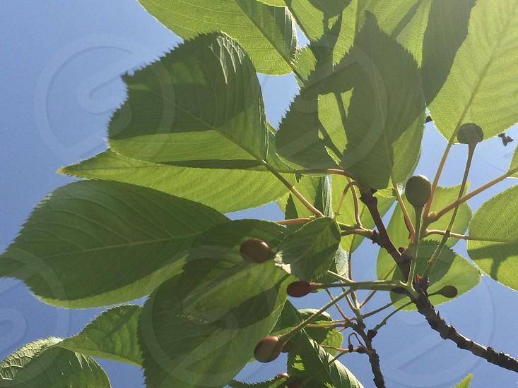 サクランボ(Young cherries) photo