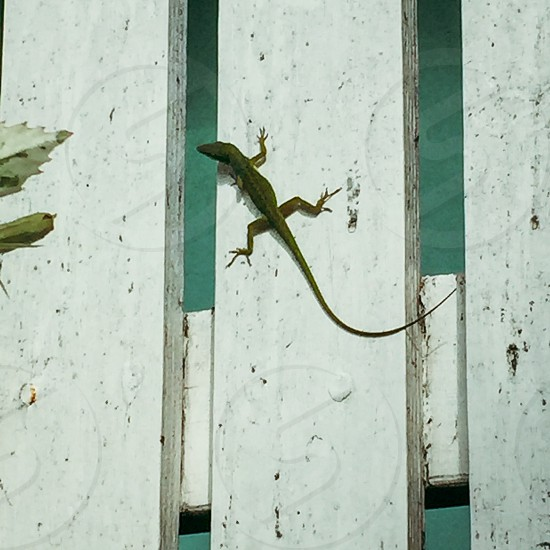 Gecko on fence in Key West FL photo