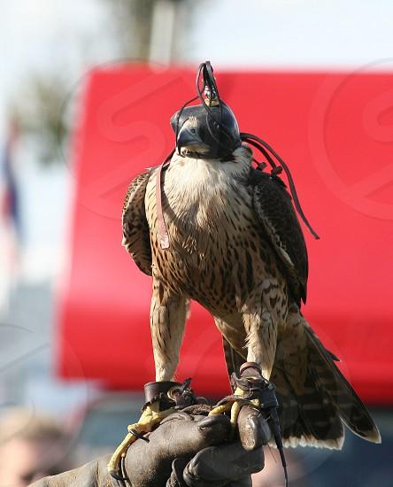 Hooded Falcon photo