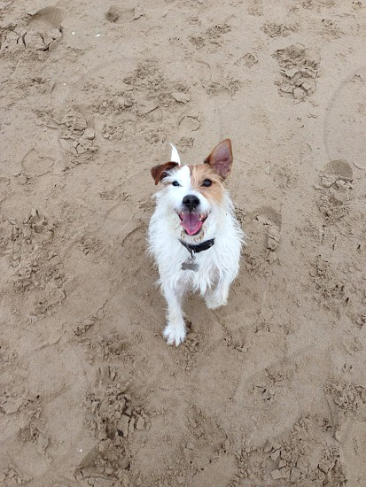 tan and white wirehaired jack russell terrier photo