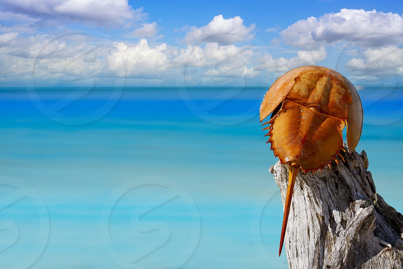 Cacerola de mar Limulus polyphemus horseshoe crab in Mexico photo