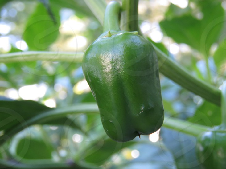 green pepper green garden nature vegetable sweet summer landscape centered food vitamin c photo