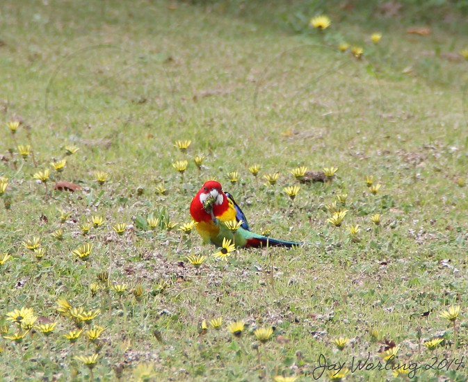 Eastern Rosella eating flowers and grass photo